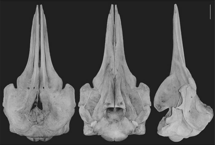 日本动物学家在鄂霍次克海发现贝喙鲸属新鲸鱼物种
