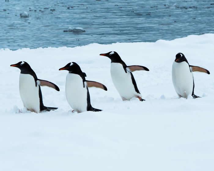 """""""企鹅基因组联盟""""在开放获取期刊GigaScience首次公布所有现生企鹅物种的基因组数据"""