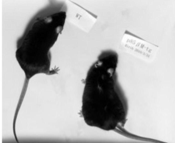 右方的是注入了新基因的实验鼠。