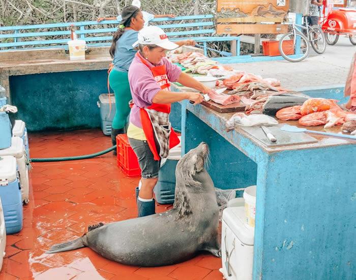 """厄瓜多尔科隆群岛阿约拉港鱼市场的动物""""小偷"""""""