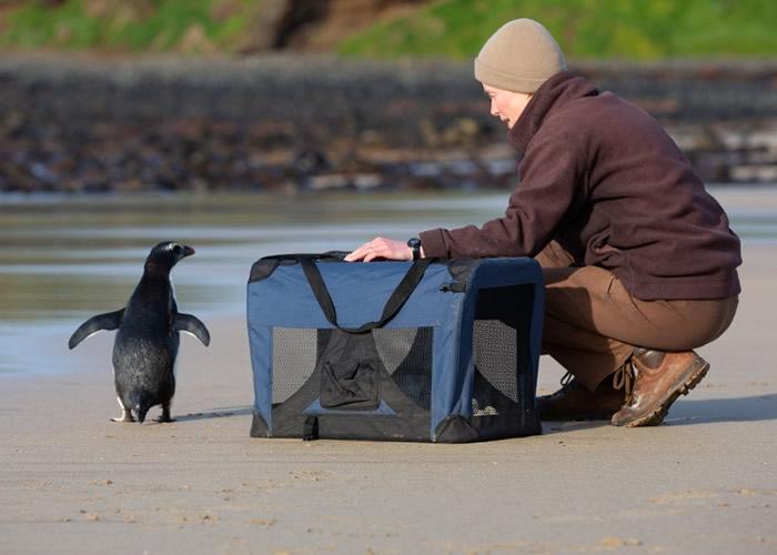 新西兰濒危峡湾企鹅为寻找食物长途跋涉2500公里至澳洲获救