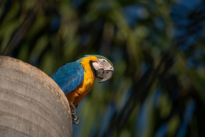 一只雌黄腹蓝琉璃金刚鹦鹉停在大坎波(Campo Grande)市内的一棵棕榈树干上,树干里面是两只雏鸟的巢。 PHOTOGRAPH BY LUIS PALACI