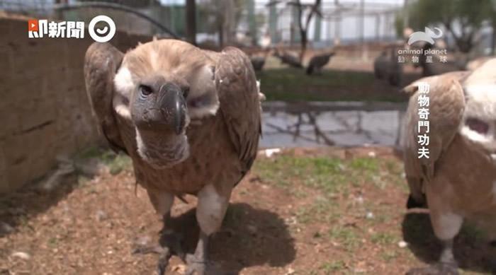 动物星球频道《动物奇门功夫》播出地表最强清道夫:秃鹰超强胃酸灭病菌