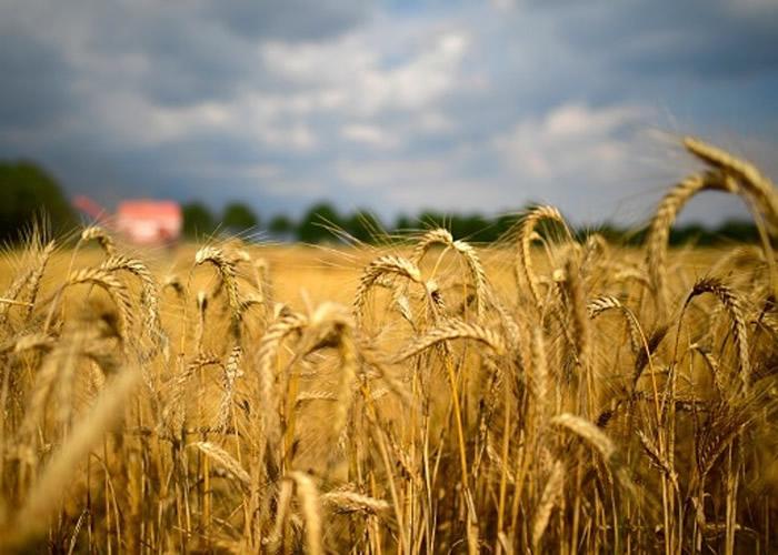 最新研究发现拥有丰富遗传特质的野生小麦产生耐热性以适应暖化环境