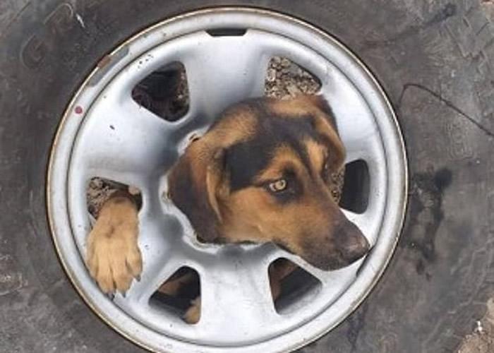 智利流浪狗头部困废车轮 动物拯救组织施以援手小狗得以脱身