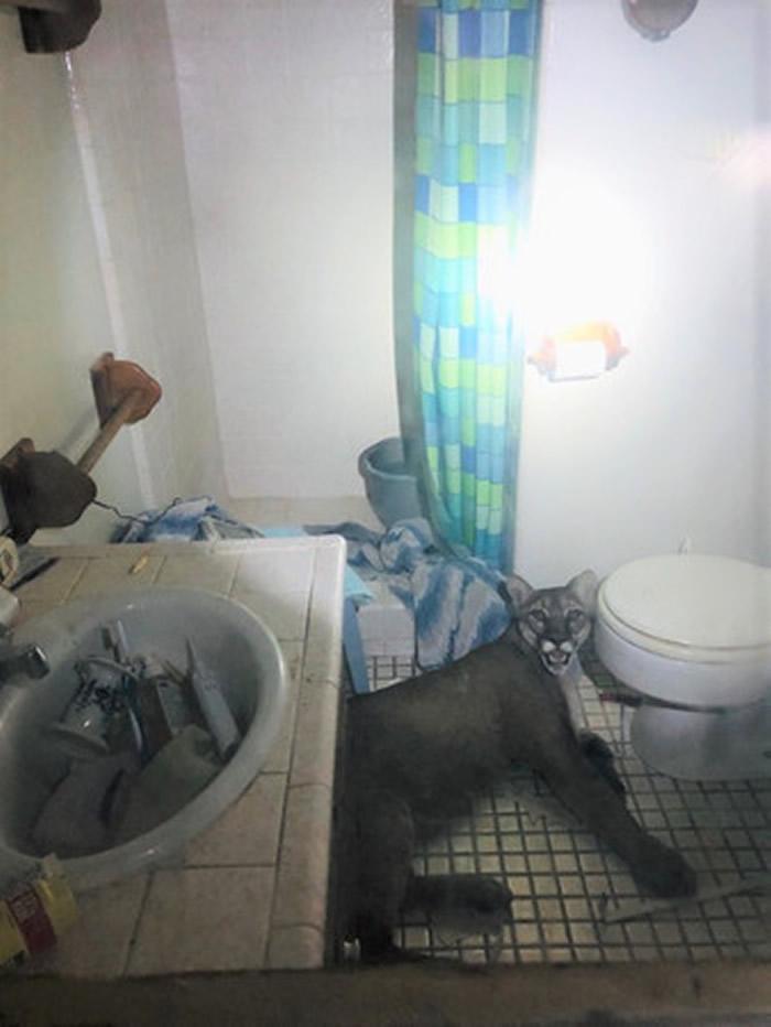 屋内传巨响!美国加州夫妻惊觉美洲狮躺浴室