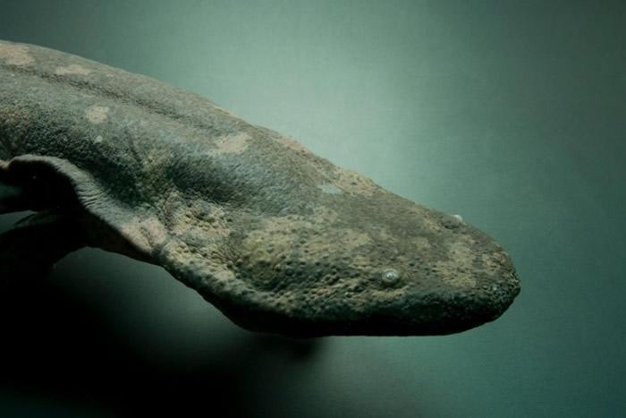 亚特兰大动物园中极度濒危的中国大鲵(Andrias davidianus)。 新研究显示,中国大鲵至少分属三个不同物种。 PHOTOGRAPH BY JOEL