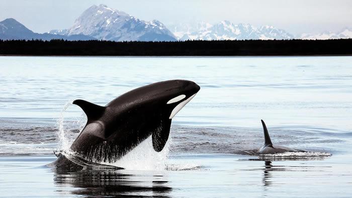 """一些基因的丧失为鲸鱼和海豚的祖先提供了在开阔海洋中生存的""""超级能力"""""""