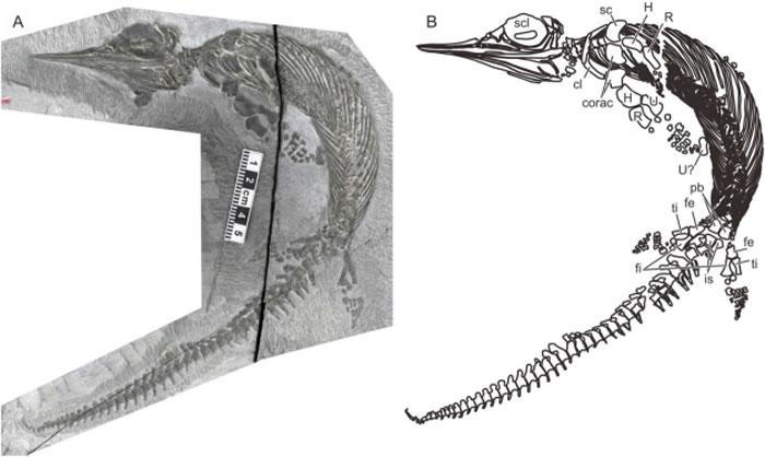 图1.完整的巢县巢湖鱼龙标本(AGB6256)。(A)化石标本照片。(B)近似骨骼结构图。比例尺为1:5