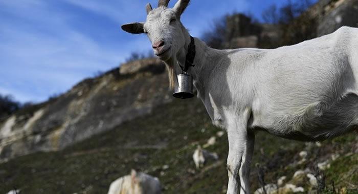"""美国加利福尼亚州为防范林火派出""""山羊消防员"""""""