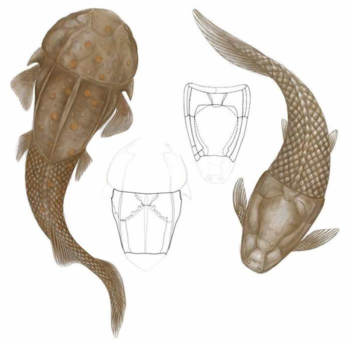 阔背志留鱼过去被前后颠倒地复原为胴甲鱼类(右,线图自张国瑞等,2010),现根据新的证据将其复原为一种全颌盾皮鱼类(左,线图及复原图)。(杨洪宇绘)
