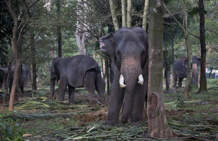 疑似村民下毒杀害 斯里兰卡4头大象惨死