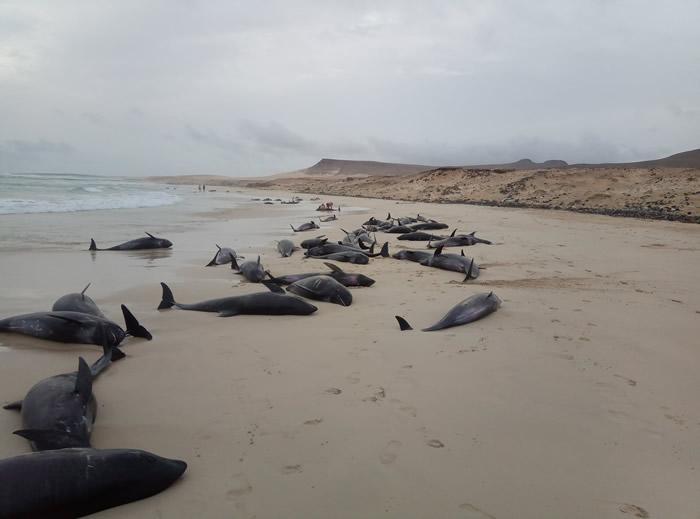 非洲西岸维德角共和国海滩134只伊列特拉海豚搁浅