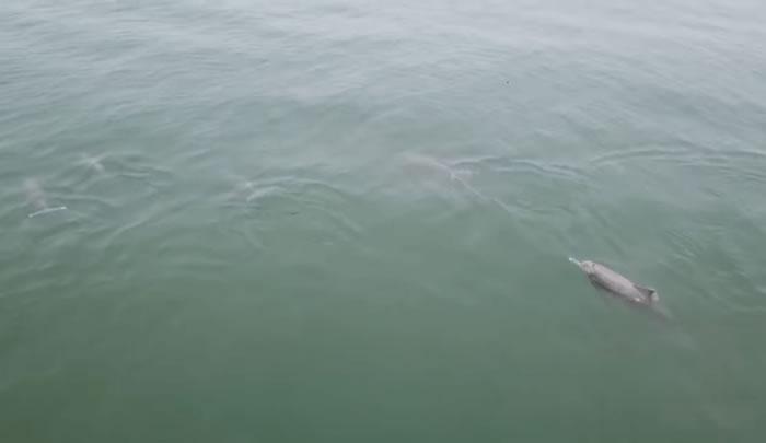 马来西亚槟城巴都丁宜海滩外近百只海豚跳跃 目击者用航拍机拍下难得景象
