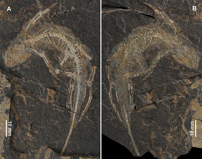 谢氏红山蜥正模(JCM-HS 0001)的照片(董丽萍供图)