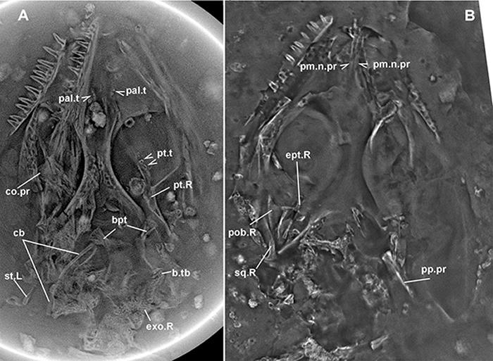 高精度平板CT扫描揭示了红山蜥部分未暴露的头骨骨骼特征(董丽萍供图)