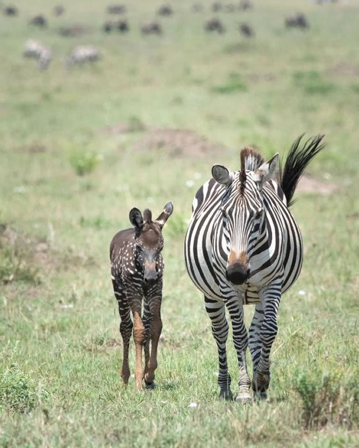 在最近的一张照片中,提拉和母亲一起走过肯尼亚的马赛马拉国家保护区。 PHOTOGRAPH BY FRANK LIU