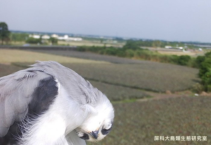 台湾屏科大鸟类生态研究室相机意外捕捉到黑翅鸢呆萌一面
