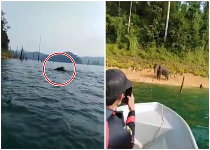 马来西亚肯逸湖大象游泳 远看犹如尼斯湖水怪
