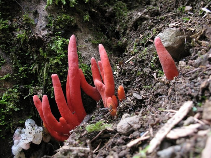"""在火珊瑚毒菌的""""原产地""""——日本和韩国,一些人将这种外表呈鲜红色的蘑菇误认为是传统医学中的可食用蘑菇"""
