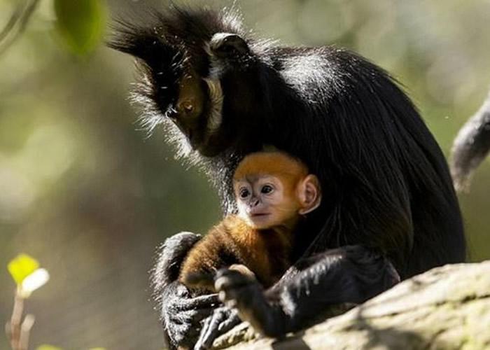 澳洲悉尼塔朗加动物园极度濒危小黑叶猴诞生 全国4年来首见