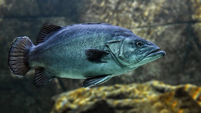 研究显示鱼类感受疼痛的方式和人类以及哺乳类非常类似