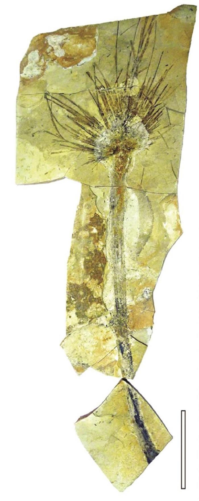 图为西藏似沙巴棕化石,比例尺10厘米。