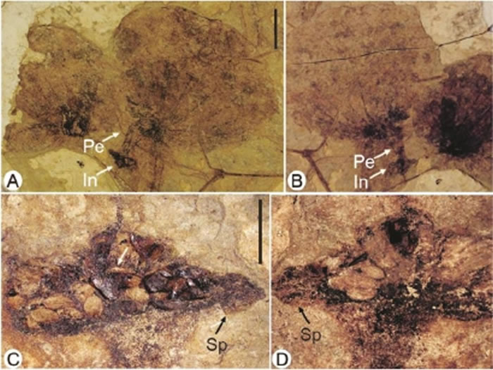 图为伦坡拉盆地的长梗似浮萍叶化石。A、B为主标本整体,比例尺1厘米;C、D为化石果序,比例尺1毫米。