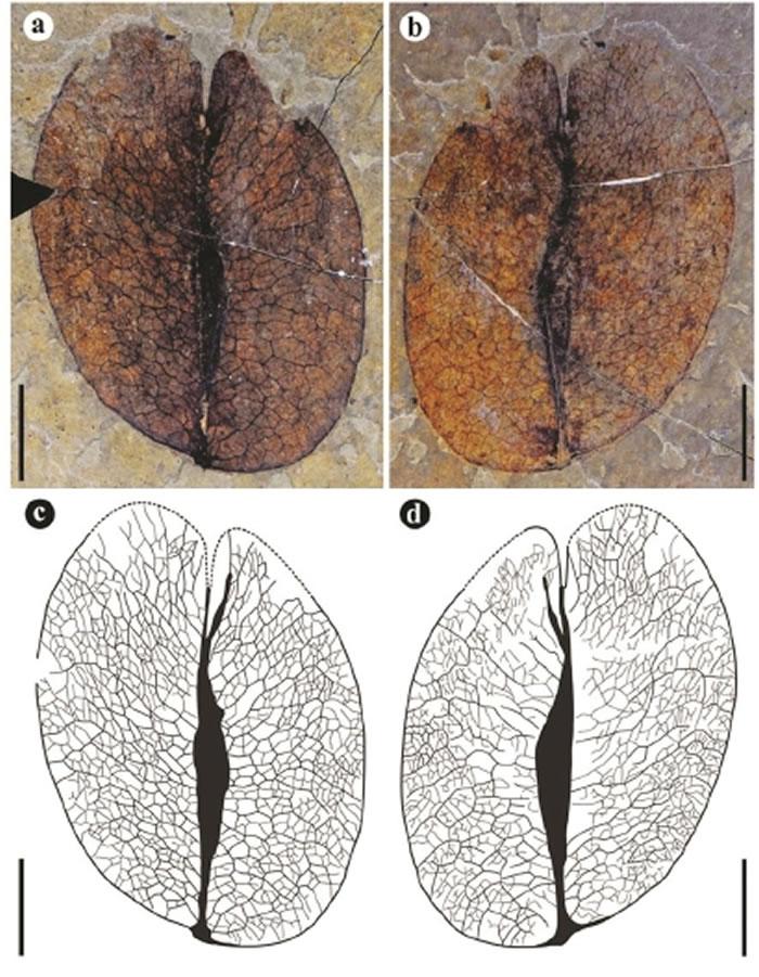 图为伦坡拉栾树化石硕果果瓣,比例尺10毫米。