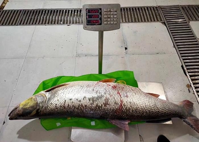 湖北丹江口水库渔民捕获52.2公斤重巨型鱤鱼 长1.7米