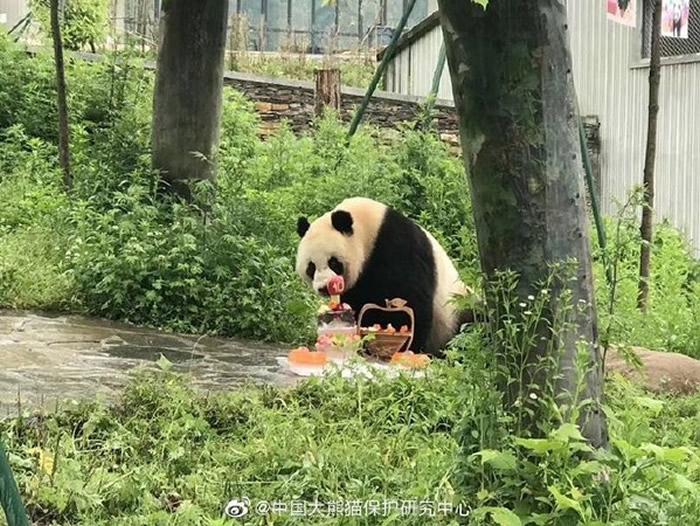 """中国旅泰大熊猫""""创创""""在清迈动物园吃完竹子后突然死亡"""