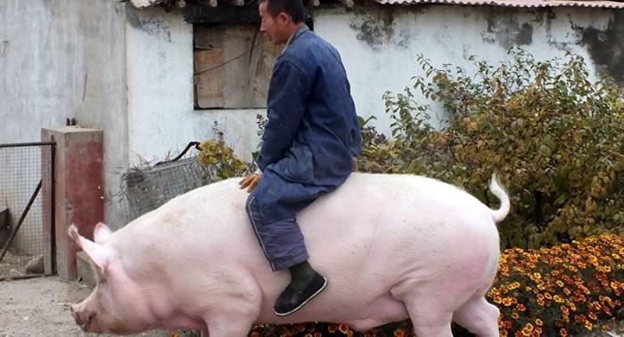 江苏省农业科学院畜牧研究所任守文研究员:养巨型猪仅能带来短期效益 违反正常规律