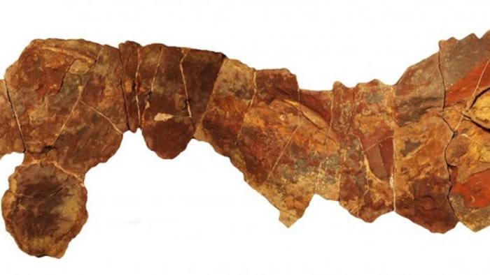 摩洛哥出土3.7亿年前泥盆纪晚期亮齿鲨化石