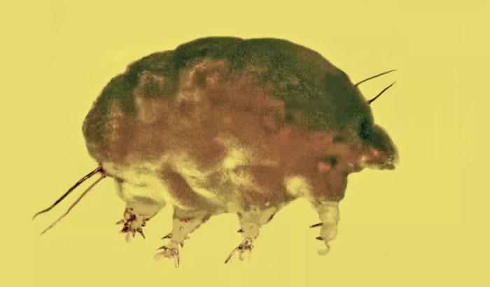 """多米尼加共和国3000万年前琥珀中发现无脊椎动物""""霉菌猪""""Sialomorpha dominicana"""