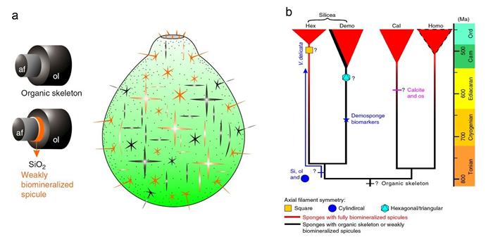 精美瓶状海绵Vasispongia delicate 的复原示意图(a)及对应的海绵动物演化谱系和可能的分类位置(b)