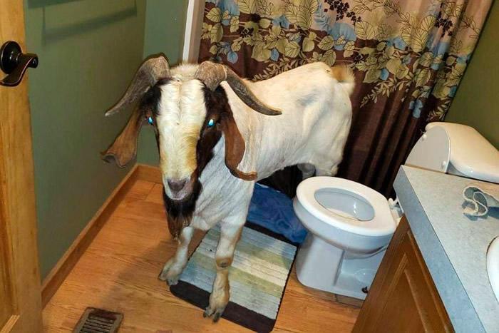 山羊曾在浴室小睡片刻。