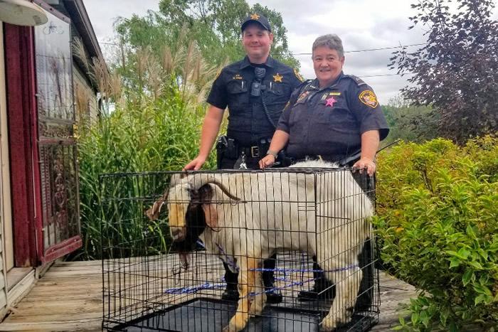 警员将山羊困在狗笼内。