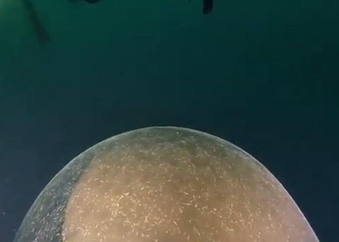 潜水员在海底遇到一个包裹着鱿鱼卵的巨大卵囊