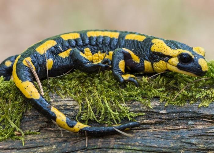 美国杜克大学研究:人体具类似蝾螈的肢体再生能力