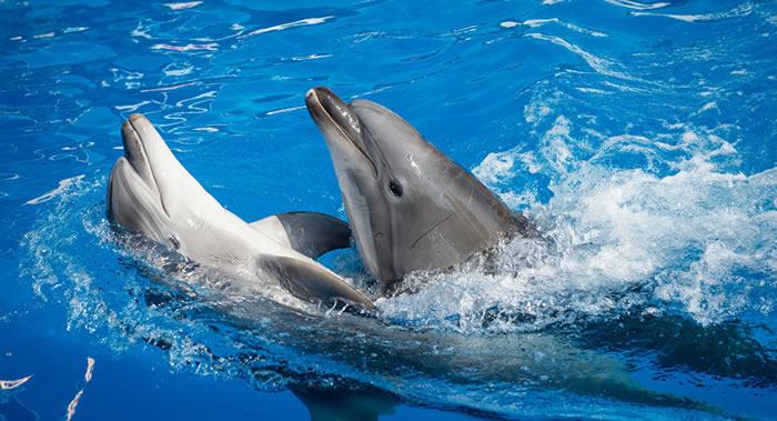 生活在印度尼西亚巴厘岛宾馆内恶劣条件中的几只海豚被救出