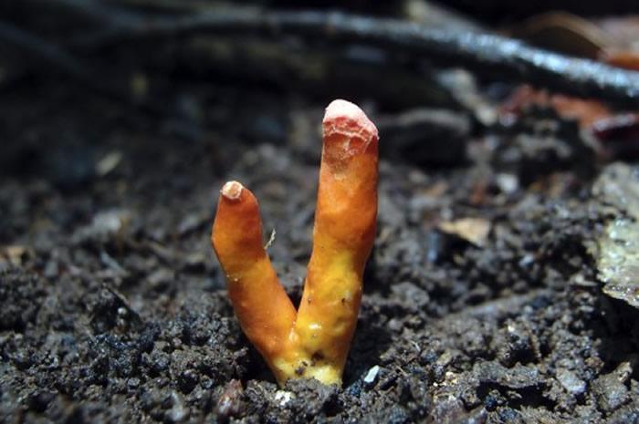 """澳大利亚昆士兰州凯恩斯森林中发现世界上最具有毒性的蘑菇品种之一—""""鹿角蘑菇"""""""