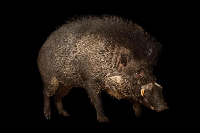 闻所未闻,猪竟然也会使用工具
