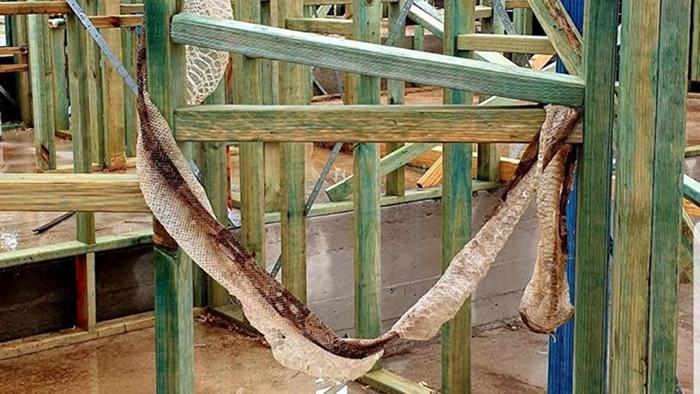 澳洲新南威尔斯工地2.5公尺长蛇皮挂木板上 逃亡大蟒蛇是来自南美洲的入侵物种