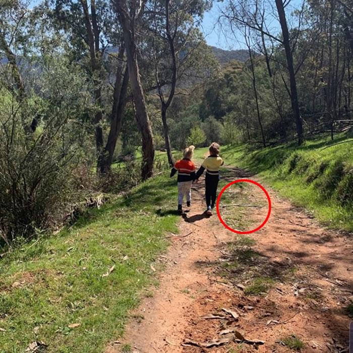 澳洲妈妈拍下孩子背影照 查看照片时惊见剧毒东部拟眼镜蛇