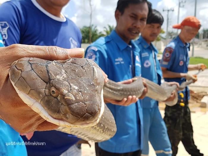 泰国喀比府7名救援人员花1个多小时抓获巨型眼镜王蛇