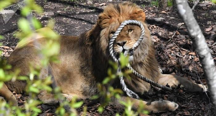巴基斯坦旁遮普省老板放出宠物狮子攻击讨要工资的电工