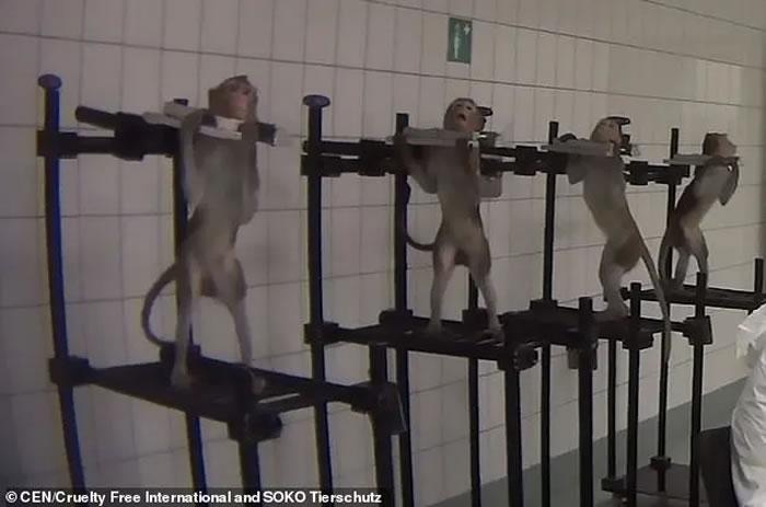 德国汉堡近郊的LPT实验室被爆涉嫌虐待动物 猴子被绑住脖子和手脚接受实验