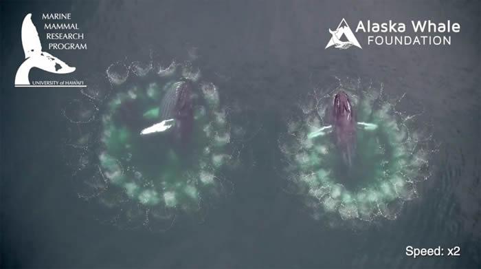 美国研究人员在阿拉斯加海域捕捉到惊人画面:座头鲸吹出网状大气泡
