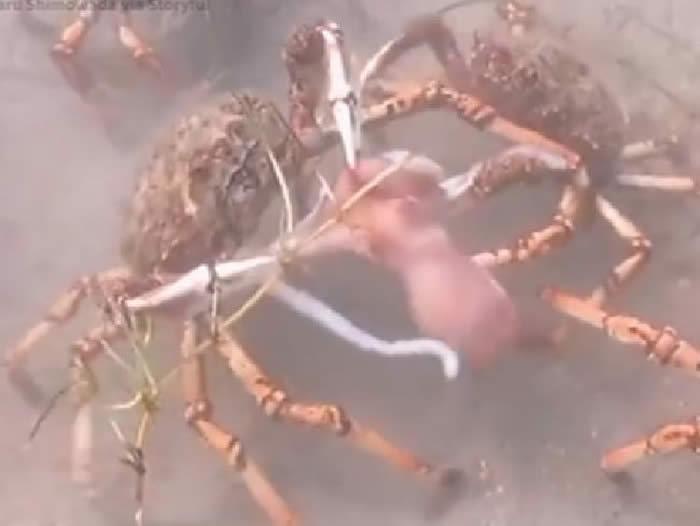 澳洲维多利亚州飞利浦港湾章鱼误入巨型螃蟹地盘 惨遭围攻分尸吞下肚