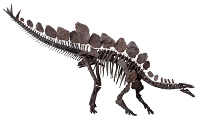 这张剑龙骨架图显示了其骨盆的后向耻骨。剑龙属于鸟臀目,因为它们的骨盆结构与现代鸟类相似